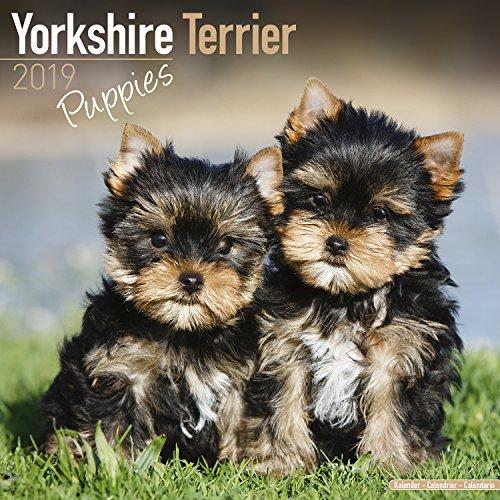 Download Yorkshire Terrier Puppies Calendar 2019 1785803964