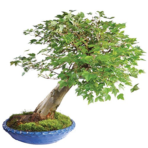 Brussel's Live Trident Maple Specimen Outdoor Bonsai Tree - 45 Years Old; 20' Tall with Decorative Container