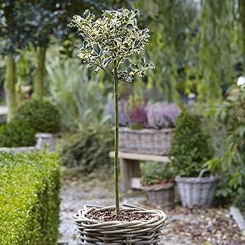 Ilex aquifolium Alaska English Holly Tree in a 7 Litre Pot