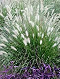 10 x Pennisetum alopecuroides 1 Liter (Ziergras/Gräser/Stauden) Lampenputzergras ab 3,19 pro Stück