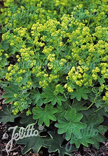 FERRY Bio-Saatgut Nicht nur Pflanzen: Chea (Frauenmantel) sericata Streik 100 Seeds größere Menge? Stellen