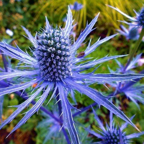 200 Semillas - Semillas de acebo de mar azules de la flor (Eryngium Planum)