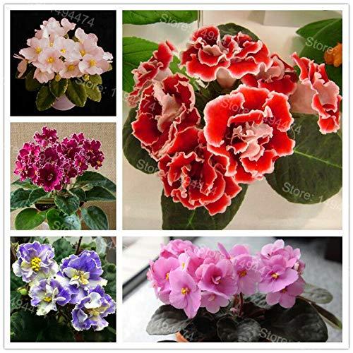 HONIC 50 Samen usambaraveilchen Samen Mischfarben Blumen-Samen Saintpaulia Ionantha Gard