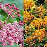 Seidenpflanzen Kombination - 6 pflanzen