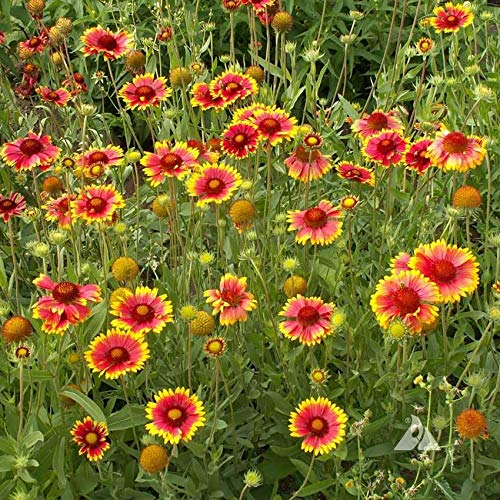 Outsidepride Gaillardia Aristata - 1000 Seeds