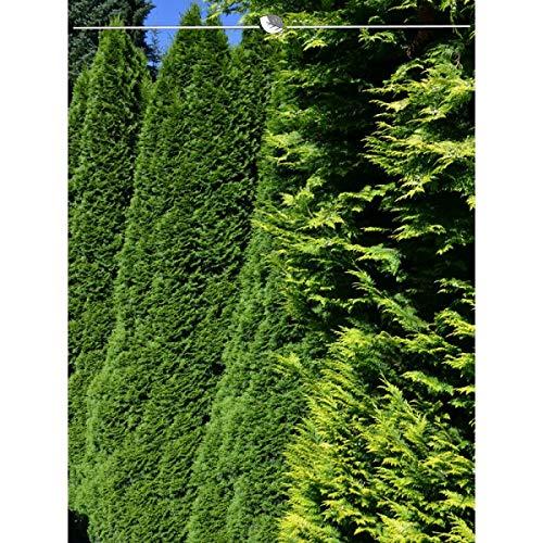 Lebensbaum Thuja Smaragd 180-200 cm. 5 Koniferen. Thuja occidentalis Smaragd Heckenpflanze. Winterhart und Pflegeleicht. Immergrüner Lebensbaum. Lebensbaum-Hecke als Sichtschutz | Inkl. Versand