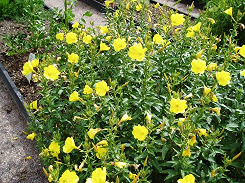 Asklepios-seeds® - 5000 Samen Gemeine Nachtkerze Oenothera biennis, Duftpflanze Heilpflanze