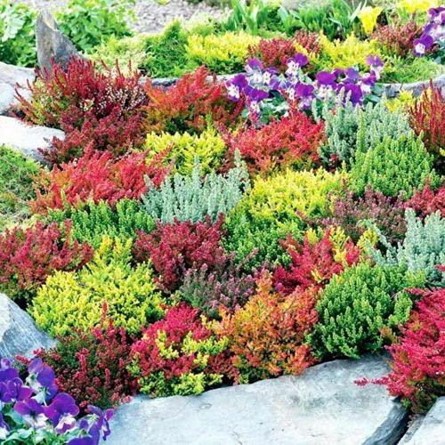 6 Mixed Heathers CALLUNA & Erica Varieties Colourful Flowering Plants