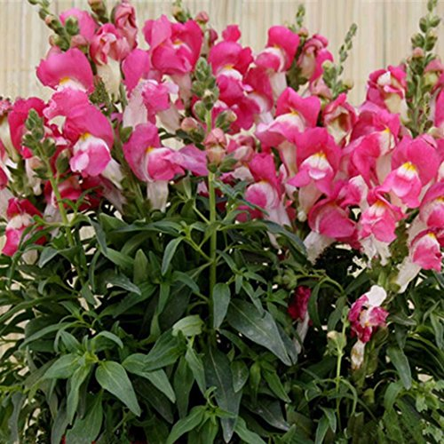 Tiowea New Nice Schitterende bloemen rustgevende zaden ruikende bloem Lupine zaden bloemenzaad Medium roze