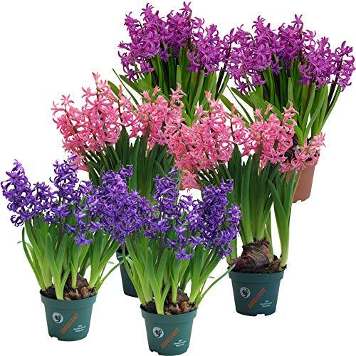 Kölle Mehrblütige Hyazinthe, 6er-Set, Hyacinthus multiflora, rosa, lila & blau, vorgetrieben, Topf 1