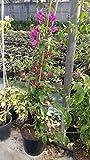 pianta piante di bouganville buganville in vaso h 100 cm colore lilla vivaiosantabernadetta foto reale