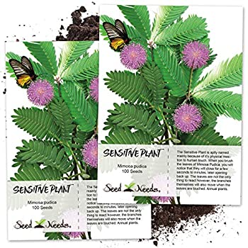 Seed Needs Sensitive Plant  Mimosa Pudica  Twin Pack of 100 Seeds Each