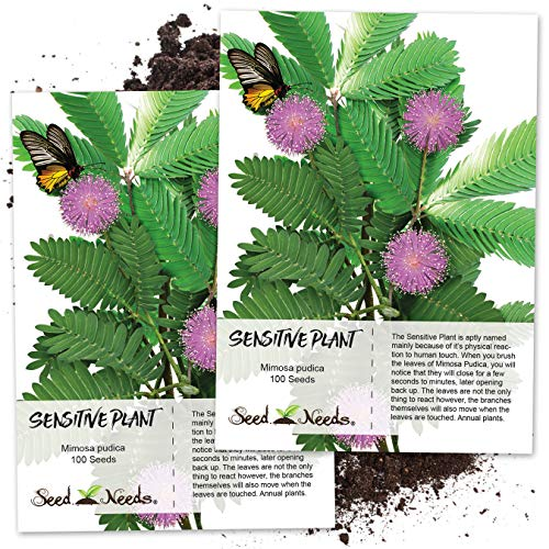 Seed Needs, Sensitive Plant (Mimosa Pudica) Twin Pack of 100 Seeds Each