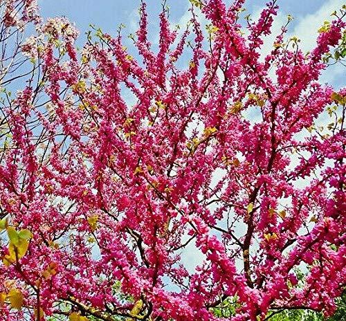 Gewöhnlicher Judasbaum Cercis siliquastrum Pflanze 5-10cm gemeiner Judasbaum