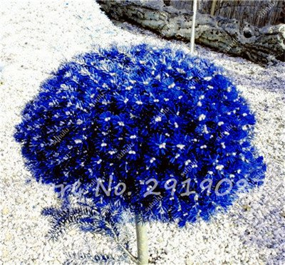 Colorado mixtes Graines de sapin Coloful Spruce Graines Picea arbre en pot Bonsai Cour Jardin Bonsai usine Pine Tree Seeds 100 Pcs 8