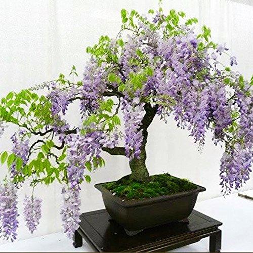 Ncient 10Pcs/ Sac Graines Semences de Wisteria Graines Fleurs Graines à Planter Plante Rare de Jardin Balcon Fleur Parfumée Bonsaï en Plein Air pour l'Intérieur et l'Extérieur
