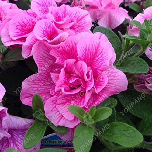 100pcs Petunia Seeds Four Seasons peut être planté 25 sortes de couleurs Pétunia Graines de fleurs Bonsai pour le bricolage jardin Plantation kaki foncé