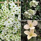 YouGarden Evergreen Mix Clematis Collection
