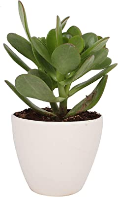 LilPlants Good Luck Live Jade Plant Without Pot