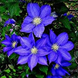 New Arrival! 300 PCS Clematis Seeds Blue Clematis Hybridas Hanging...