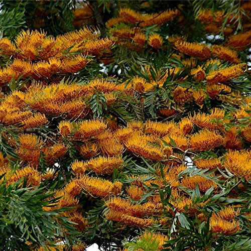 SILKOAK TREE Grevillea Robusta - 50+ GRAINES