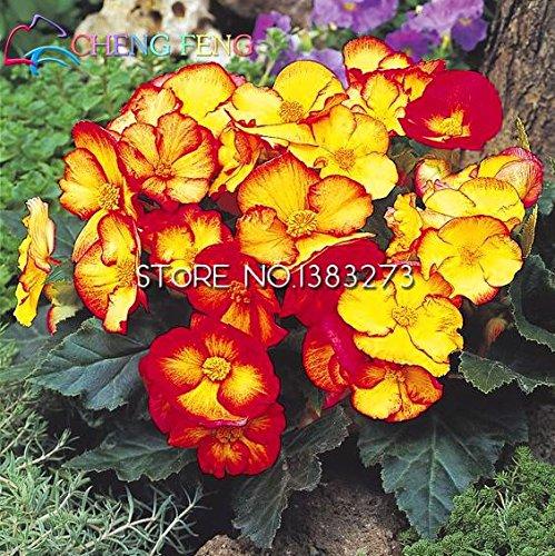En soldes!!! Begonia Graines rares Graines Fower de 12 sortes pour les plantes Bonsai SeedsAndPlants * Jardin Flor pot de purification d'air Fleurs