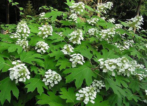 40 OAK LEAF HYDRANGEA Hydrangea Quercifolia Flower Shrub Bush Seeds