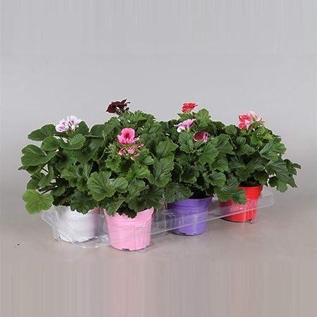 Bandeja de 6 Geranios Mix Colores Plantas Naturales en Maceta