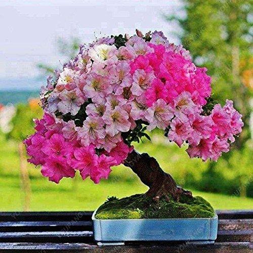 100 particules/sac géant Hibiscus Flower Garden Seeds & Home vivaces Plantes en pot de fleurs Hibiscus ferme heureuse Bonsai Semence multicolor
