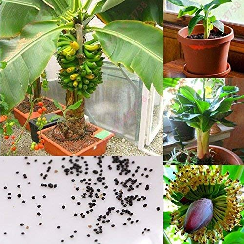 Rosepoem 100 pcs Banana Seeds nain fruits arbres en plein air vivaces graines de fruits pour les plantes du jardin