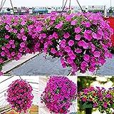 Aimado Seeds Garden-50 Ipomée graines plante grimpante,Les pétales ont une saisissante couleur foncée,idéales pour embellir un treillis, une pergola, un mur, un grillage