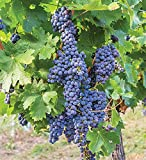Pixies Gardens Mars Seedless Grape Vine Shrub Live Fruit Plant for Planting - Blue Grapes, Good in hot Summer Areas