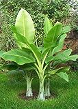 TROPICA - Snow Banana (Ensete glaucum syn. Ensete wilsonii) - 10 Seeds - Winter-Hardy
