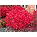 Dwarf Burning Bush Shrub - Outdoor Tree - 10 Bare Root Plants 4-10' Tall