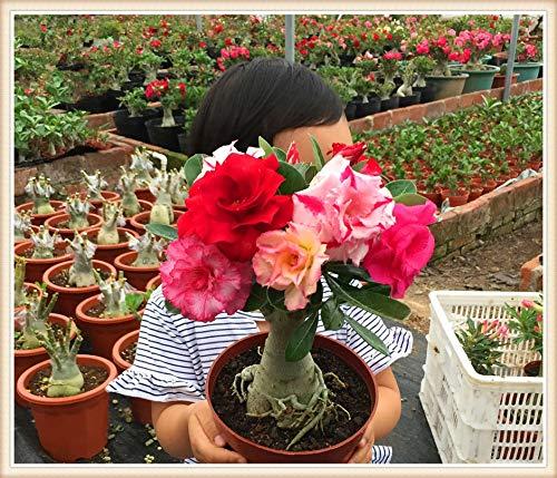 Sump Fresh 100pcs Adenium obesum Desert Rose Semillas de flores para plantar Mixtas 6