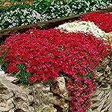 ADOLENB Seed House - Piedra Hierba Flores Semillas Raras Ganso Berro Arabis Semillas Flor Mar Invierno Plantas perennes resistentes para el jardín de su casa