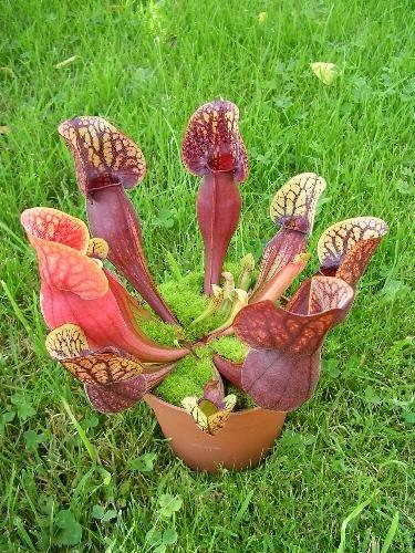 TROPICA - Mélange de plantes Sarracenia (Sarracenia purpurea & S. flava) - 10 graines- Carnivore