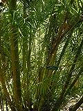 PlenTree 5 Semillas de la Dypsis Lutescens Hardy Palma Areca