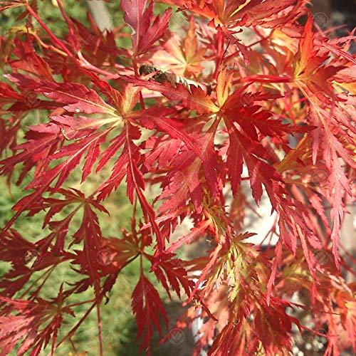 Acer palmatum 'Seiryu' Japanese Maple Deciduous Garden Shrub Plant | 9cm Pot