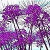彼岸花 球根 珍しい種の見事な観賞用え根茎の花盆栽のバルコニー-5 リコリス球根