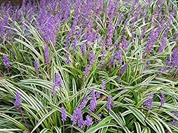 variegated monkey grass