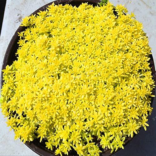 Gold Moos Sedum Golden Acre Sedum Mauerpfeffer Gold Moos Bodendecker Blumensamen Blumentopf Für Hausgarten 100 Teile/beutel