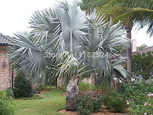 10 Bismarckia nobilis - Silber Bismarck Palm - Frische Samen