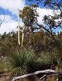 Tufted Yacca Grass Tree Seed (X. semiplana) Rocky Soils