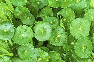 Live Gotu Kola (Round-Leaf), Asiatic Pennywort, Centella aka Centella Asiatica Plant - 2 Herb Live Plants