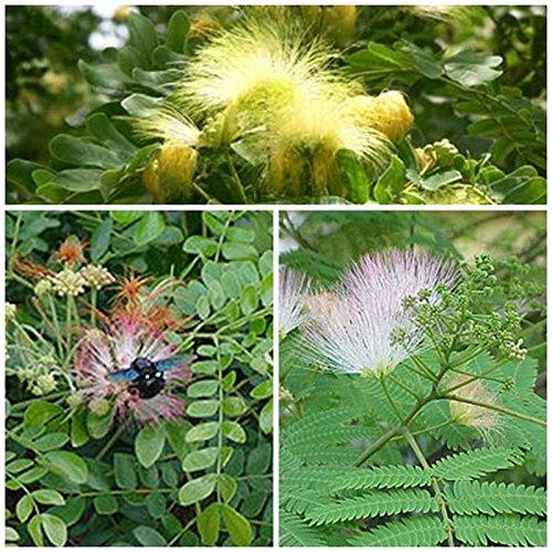 Seidenakazien Samen-Set 3 Sorten, Exotische Schlaf Pflanzen für Ihren Garten!!