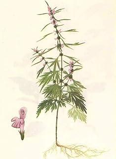 Semillas de agripalma común 50pcs, Leonurus Cardiaca, Lamiaceae, Herb GMO Free Fácil de cultivar para la siembra de bonsai en el hogar y el jardín