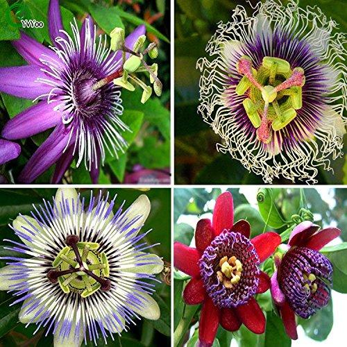 Graines de fleurs rares graines Passiflora graines d'arbres fruitiers graines de fruits de la passion jardin plantes 20pcs AA