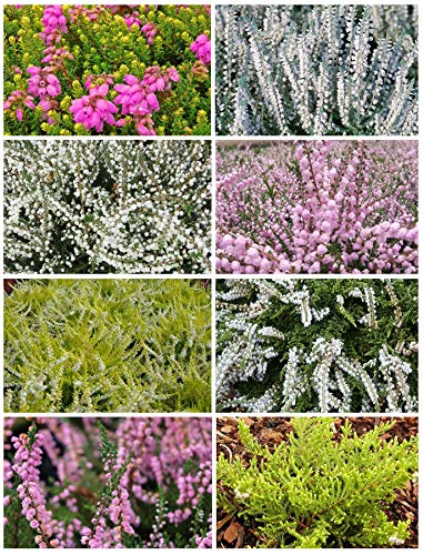 8 Plant Pack Summer/Autumn Heather Variety Low Growing Ground Cover Flowering Garden Shrub