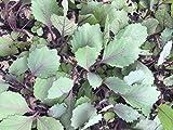 Rotkohl, Rotkohl Pflanzen im 10er Set